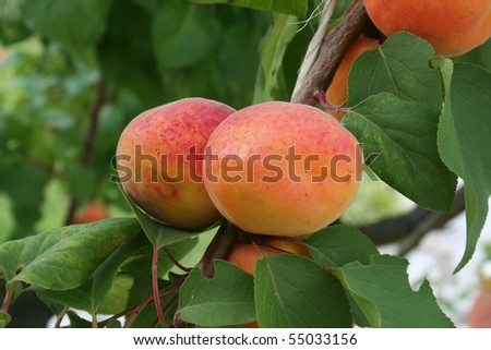 Apricots growing on branch ready to pick