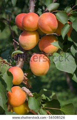 Apricots on a branch - stock photo