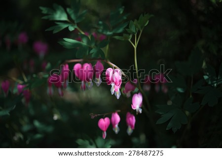April blooming flowers pink bleeding heart, green leaves in garden  Lamprocapnos spectabilis, formerly Dicentra spectabilis beautiful plant in springtime. Image is blurred, partial defocus mix - stock photo