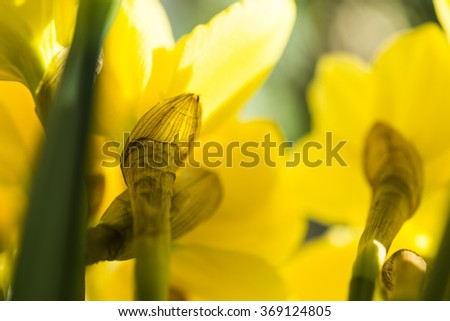 April blooming Narcissi flowers arranged in vase for interior decoration Daffodil, yellow flower in the Amaryllidaceae amaryllis familiy. Upside view image for abstract nature background - stock photo
