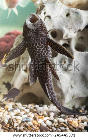 Aquarium Catfish, Hypostomus plecostomus, rests at bottom of aquarium - stock photo