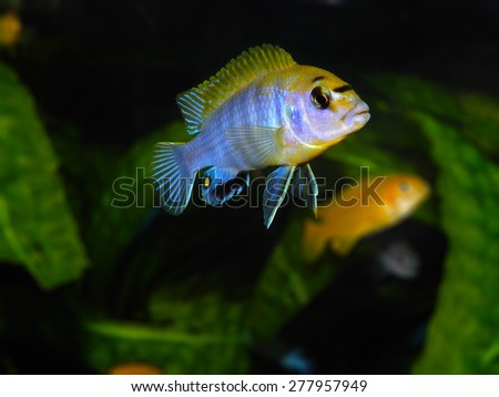 Aquarium Cichlid fish from Africa  - stock photo