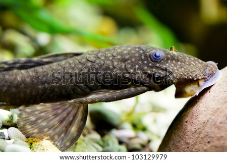 Plecostomus stock photos royalty free images vectors for Aquarium sucker fish