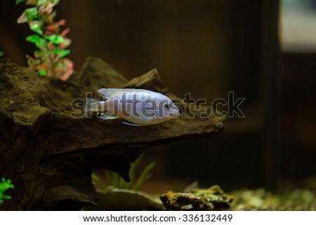 aquarium fish close up - stock photo
