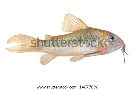 aquarium fish (coridoras), isolated on white, path included