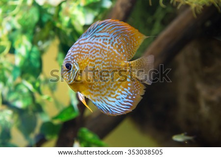 Aquarium fish discus The flat body of aquarium fish helps them to quickly maneuver between obstacles, escaping from predators. Discus is a schooling fish. widespread in the Amazon river. - stock photo