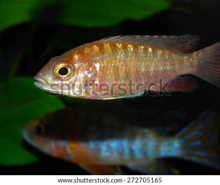 Aquarium fish from Africa. Aulonocara fire fish / calico. Cichlidae family.  - stock photo