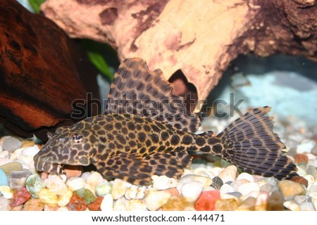 Aquarium Fish, Marble Highfin Plecostomus - stock photo