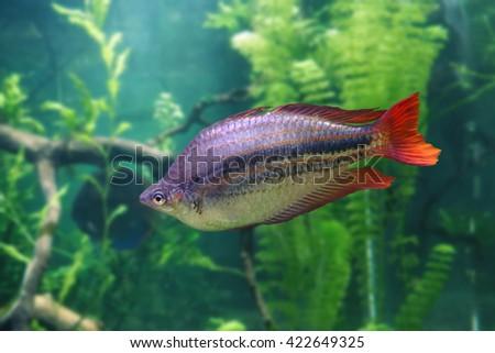 Aquarium fish Melanotaenia nigrans - stock photo