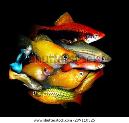 Aquarium fish. Poecilidae family - stock photo