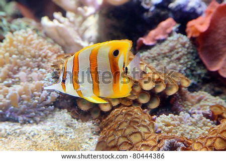 Aquarium Fish, Sixspine butterfly fish against coral reef