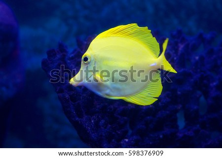 Aquarium fish yellow This fish in nature lives in the warm waters of the Pacific ocean