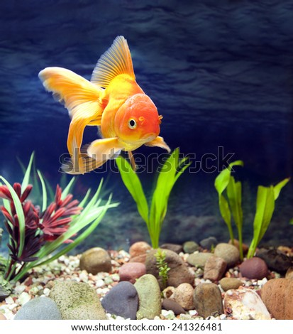 Aquarium native hardy fancy gold fish, Red Fantail - stock photo
