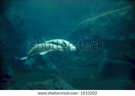 Aquarium pair of Beluga whales ( Delphinapterus leucas ) in courtship. This species of Monodontidae is considered an endangered species. - stock photo