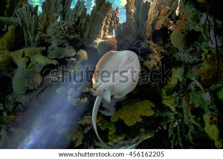 Aquarium photo of a salt water ray swimming in the reef with interesting light and sunbeams - stock photo