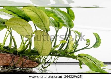 aquarium plant Anubias barteri  - stock photo