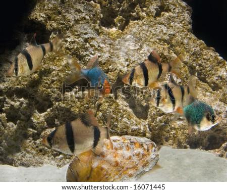 Aquarium with a school of mixed barbs - stock photo
