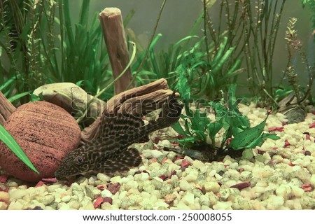 Aquarium with bottom dweller cat fish, Hypostomus Plecostomus - stock photo