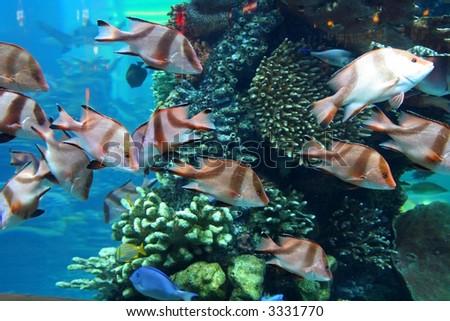 Aquarium with swimming decorative fishes - stock photo