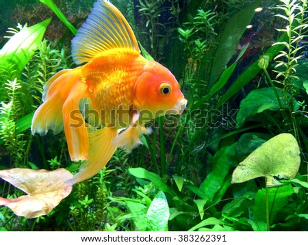 Aquarium with yawning red fantail fancy gold fish with wide open mouth in front of aquatic plants.