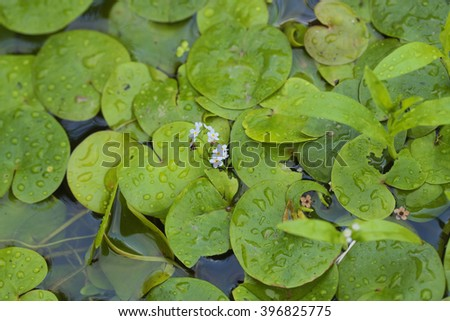 "Aquatic plant  ""Hydrocharis morsus-ranae"". Hydrocharis is a genus of aquatic plants in the family Hydrocharitaceae.  It is widespread across much of Europe and Asia."