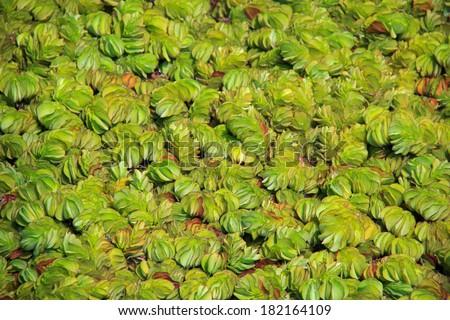 Aquatic plants, floating plants, background - stock photo