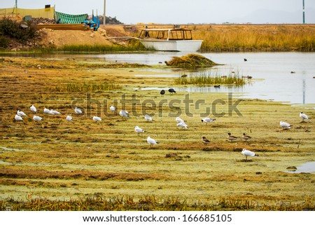 Aquatic seabirds in lake Titicaca National Reservation ,Ballestas Islands Peru South America.This birds hunters of fish and shellfish - stock photo