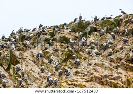 Aquatic seabirds in Peru.South America, coast at Paracas National Reservation, Peruvian Galapagos. Ballestas Islands.This birds hunters of fish and shellfish - stock photo