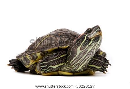 Aquatic turtle isolated on white - stock photo