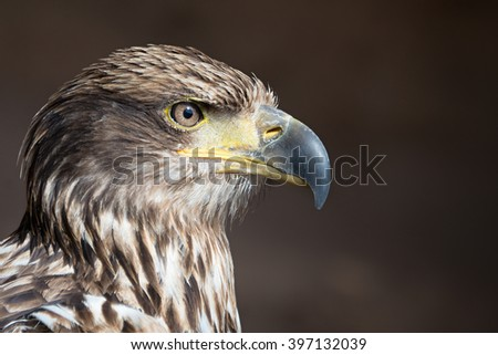 Aquila chrysaetos.Portrait of a golden eagle