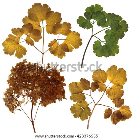 Aquilegia, dried fall leaves isolated elements on scrapbook background, object, roughage autumn leaf, herbarium pressed delicate flowers and petals from the front and the back side - stock photo