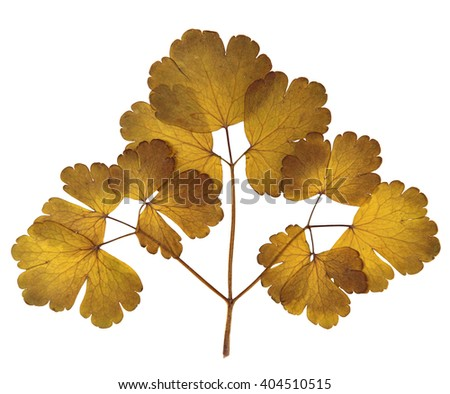 Aquilegia dry pressed golden  leaf isolated element on background  - stock photo