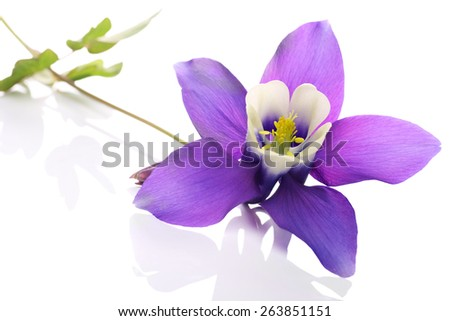 Aquilegia flower commonly known as columbine or granny's bonnet.Its natural habitat is meadow or woodland.