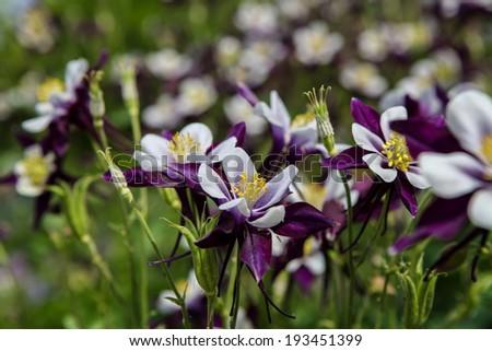 Aquilegia flowers - stock photo