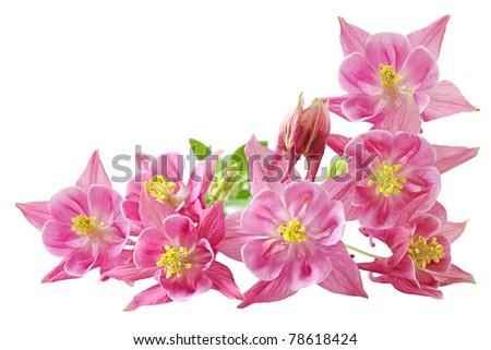 Aquilegia Vulgaris Columbine red star flowers - stock photo
