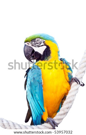 Ara ararauna parrot isolated on white