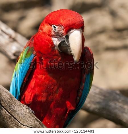 Ara Ararauna parrot - red macaw - stock photo