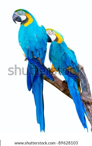Ara Ararauna Parrots Isolated on White Background