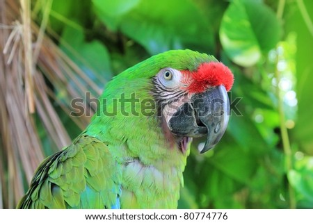 Ara Militaris Military Macaw Green parrot South and Central america - stock photo