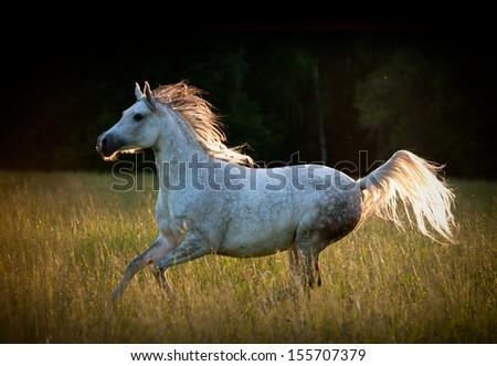 arab horse in summer - stock photo