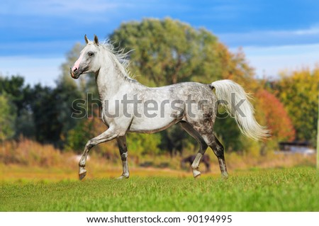 arab horse in summer field - stock photo