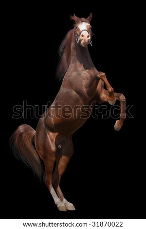arab horse isolated - stock photo