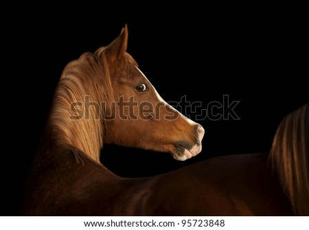 arab horse on black - stock photo