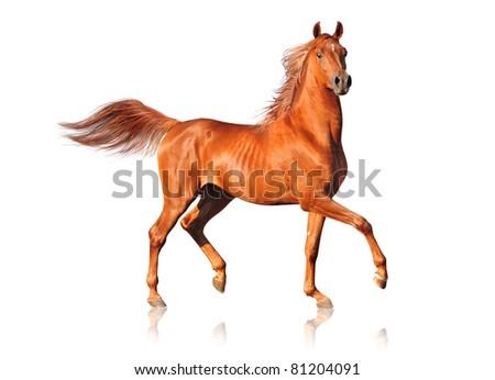 arab horse on white - stock photo