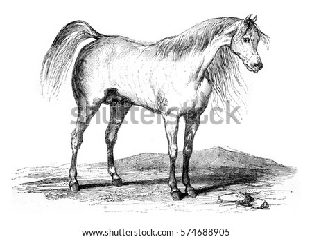 Arab horse, vintage engraved illustration. Magasin Pittoresque 1845.