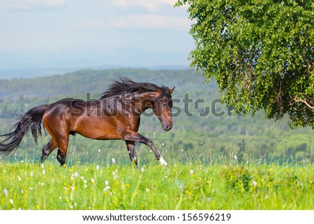 Arab racer on a green summer meadow