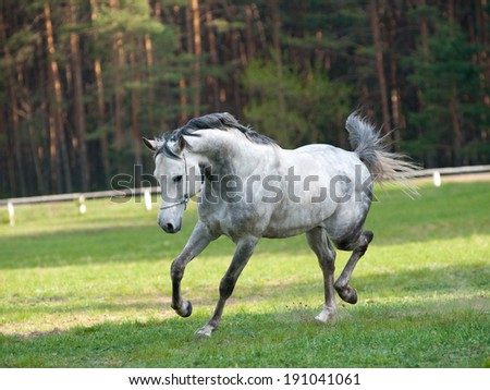 arab stallion - stock photo