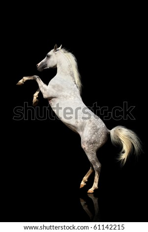 arab stallion isolated on a black - stock photo