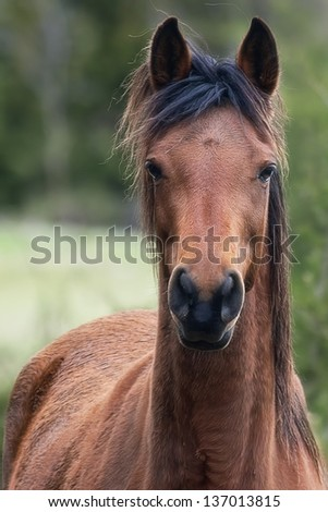 Arabian Bay Horse - stock photo