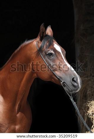 Arabian bay stallion - stock photo
